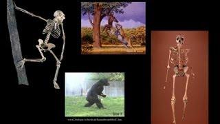 CARTA: Bipedalism and Human Origins-Comparative Anatomy from Australopithecus to Gorillas