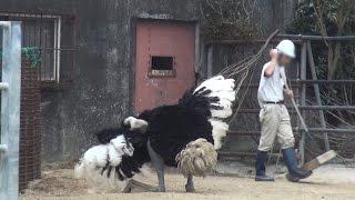 求愛ダンスを見てほしいダチョウさん♪~with飼育員さん&キリンさん 宮崎フェニックス自然動物園 Miyazaki City Phoenix Zoo