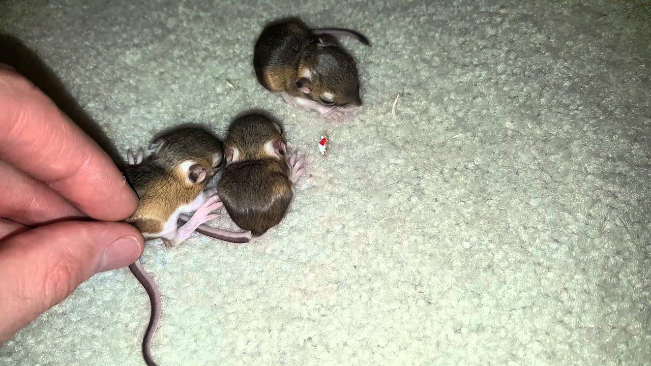 baby kangaroo rats d