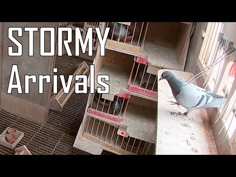 Vlog #44 STORMY ARRIVALS From 564km Pigeon Race