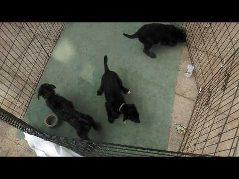 Deerhound Lurcher Puppies 6 Weeks Old