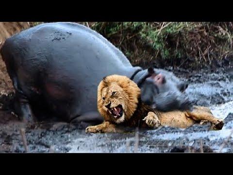 БЕГЕМОТ В ДЕЛЕ! Бегемот против льва крокодила носорога