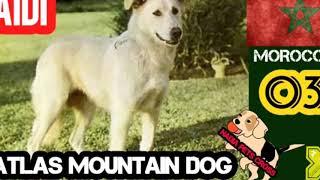 AIDI Atlas Mountain Dog Complete Dog Profile, Characteristics, Care, Feed, Reproduction, Health