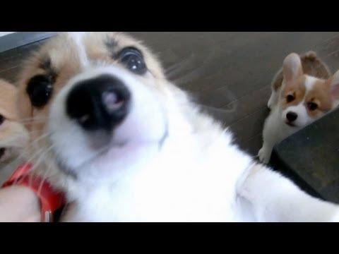 Cute 10 puppies = Chaos!  [Part 1] コーギー 子犬