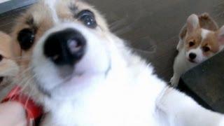 Cute 10 puppies = Chaos!  [Part 1] コーギー 子犬 thumbnail