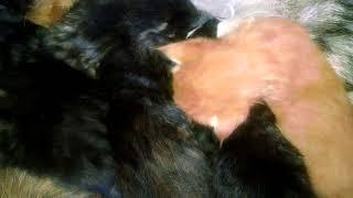 Мейн-кун красного, дикого и чёрного тигрового мраморного окраса
