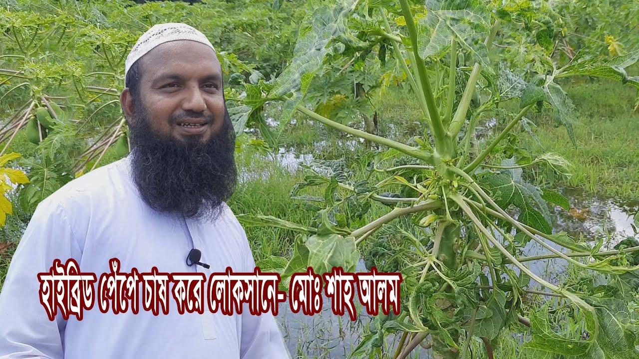 হাইব্রিড পেঁপে চাষ করে লোকসানে পড়েছেন- শাহ আলম, Papaya Cultivation
