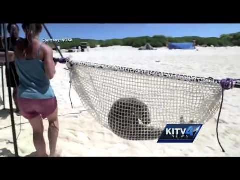 Monk Seals thriving in the Northwest Hawaiian Islands