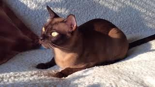 Барбара Джоли Фурс Бурманская кошка