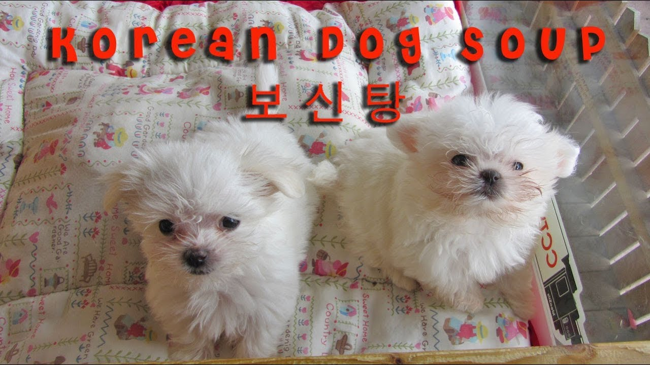 Eating dog soup korea bosintang youtube Dog will eat out of hand but not bowl