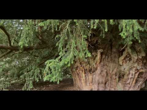 The Ankerwycke Yew - an ancient living legend...