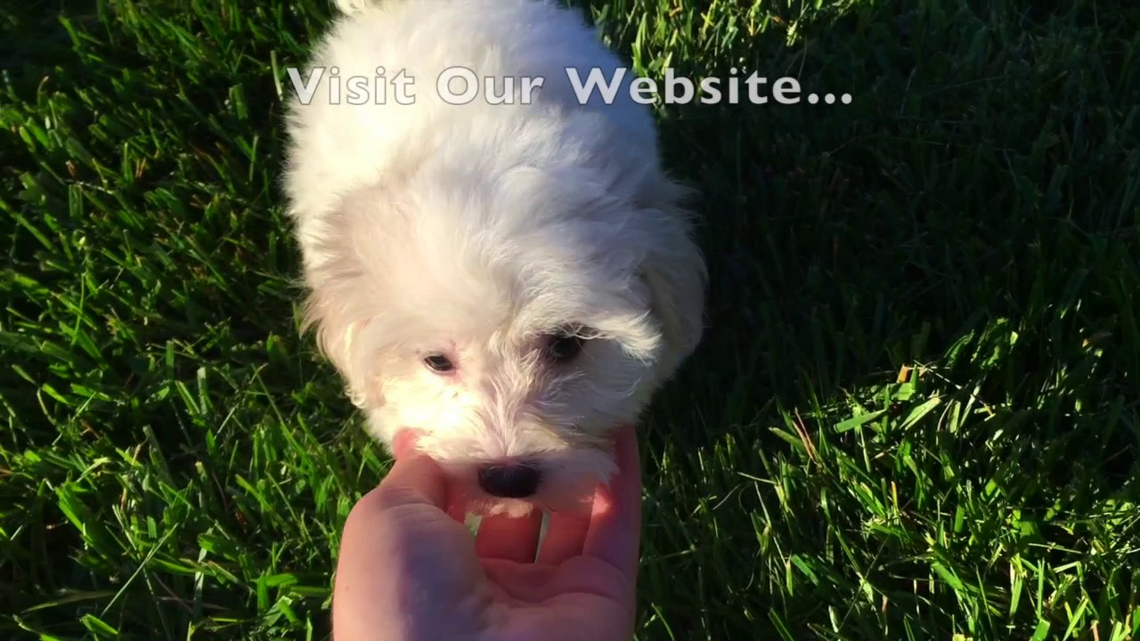 Havanese Puppies For Sale In Sc Youtube