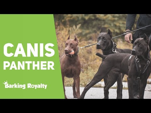Canis Panther - The Ultimate Guide to Panther Dog