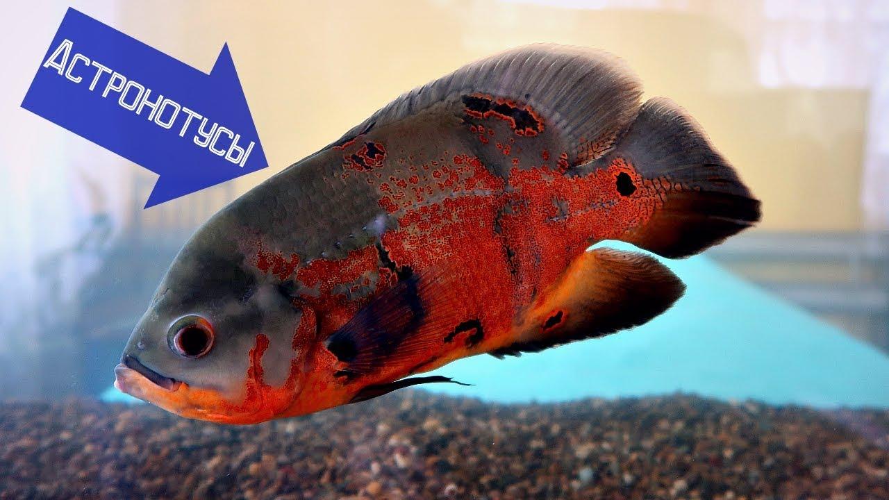 Аквариумная рыба - Каламоихт калабарский.- Рыбка-змея .