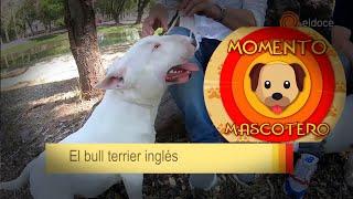 Características de la raza de perros Bull Terrier Inglés