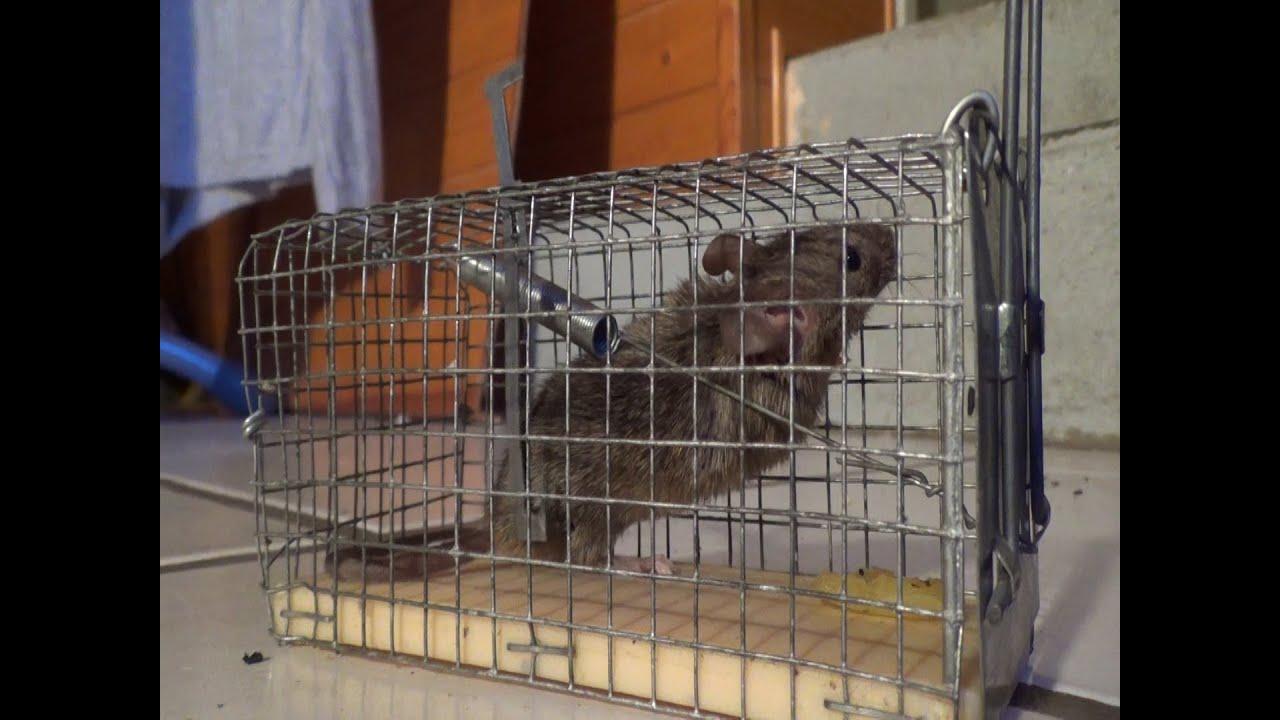 Come realizzare una trappola per topi fatta in casa - Casa