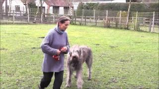 7 Yrs Old Irish Wolfhound - Guy - (ungroomed!!) Avoiding Pot-holes!!
