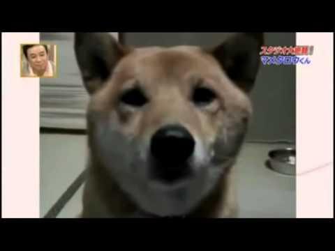 Soft barking dog