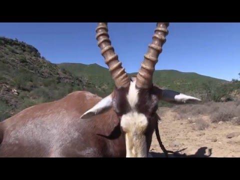 African Hope Hunting Safaris 2016 blesbok #1