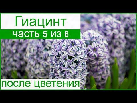 🌷 Гиацинты после цветения: уборка и хранение