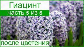 Гиацинты после цветения: уборка и хранение