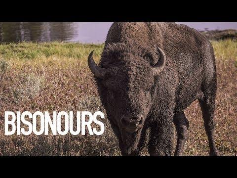 VOIR DES BISONS | Yellowstone #2