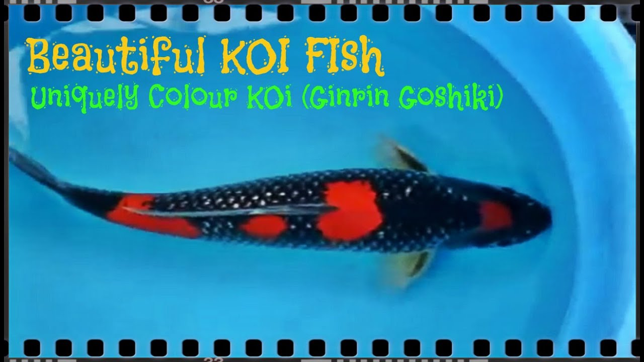 Beautiful koi fish unique koi gin rin goshiki youtube for Beautiful koi fish