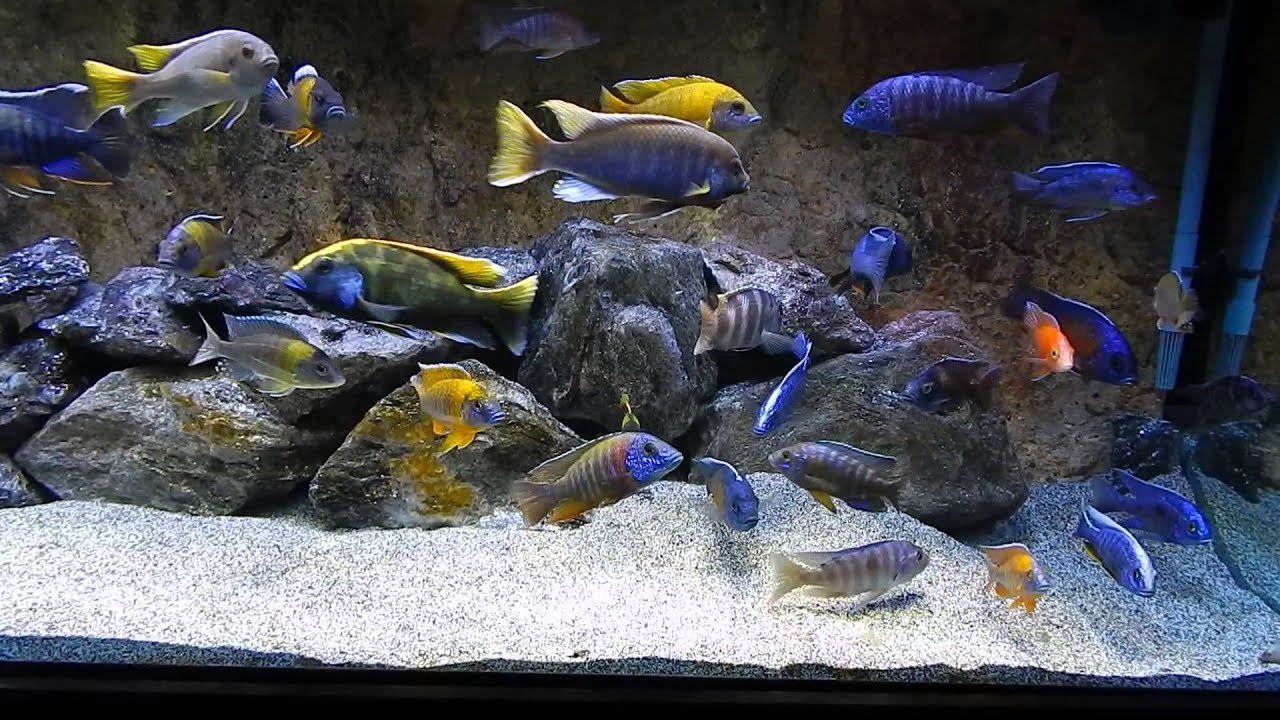 Thanks 120 tall african cichlid aquarium youtube for African cichlid tank decoration