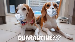 What Beagles do when we stay at Home : Funny Dogs Louie and Marie
