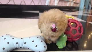 Adorable Teacup Poodle! Teacup Puppies For Sale 2014