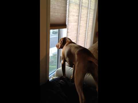 first-vizsla-guard-dog-bark