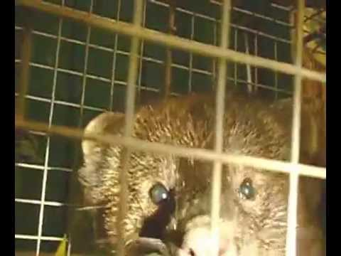Fisher Cat: Just Caught