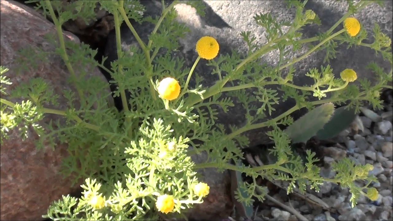 Tiny yellow flower balls update for whats growing around your tiny yellow flower balls update for whats growing around your yard episode 3 mightylinksfo