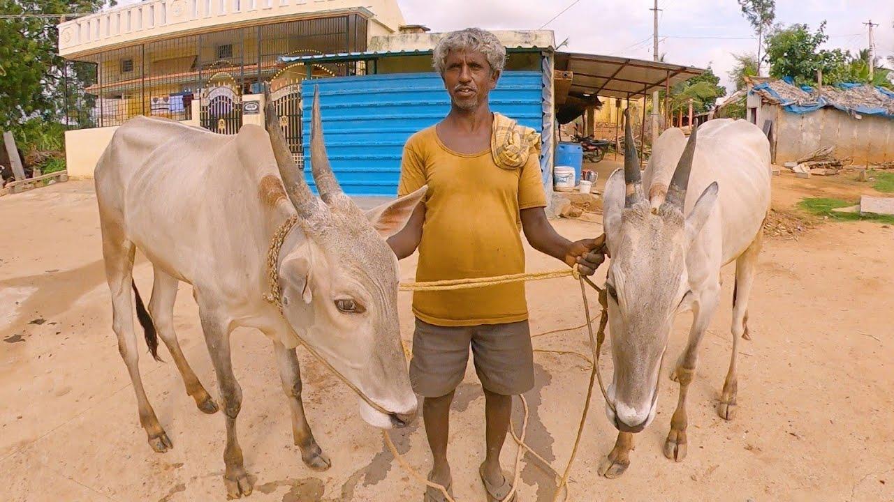 Appajappa of Veerasagara with milk teeth bulls