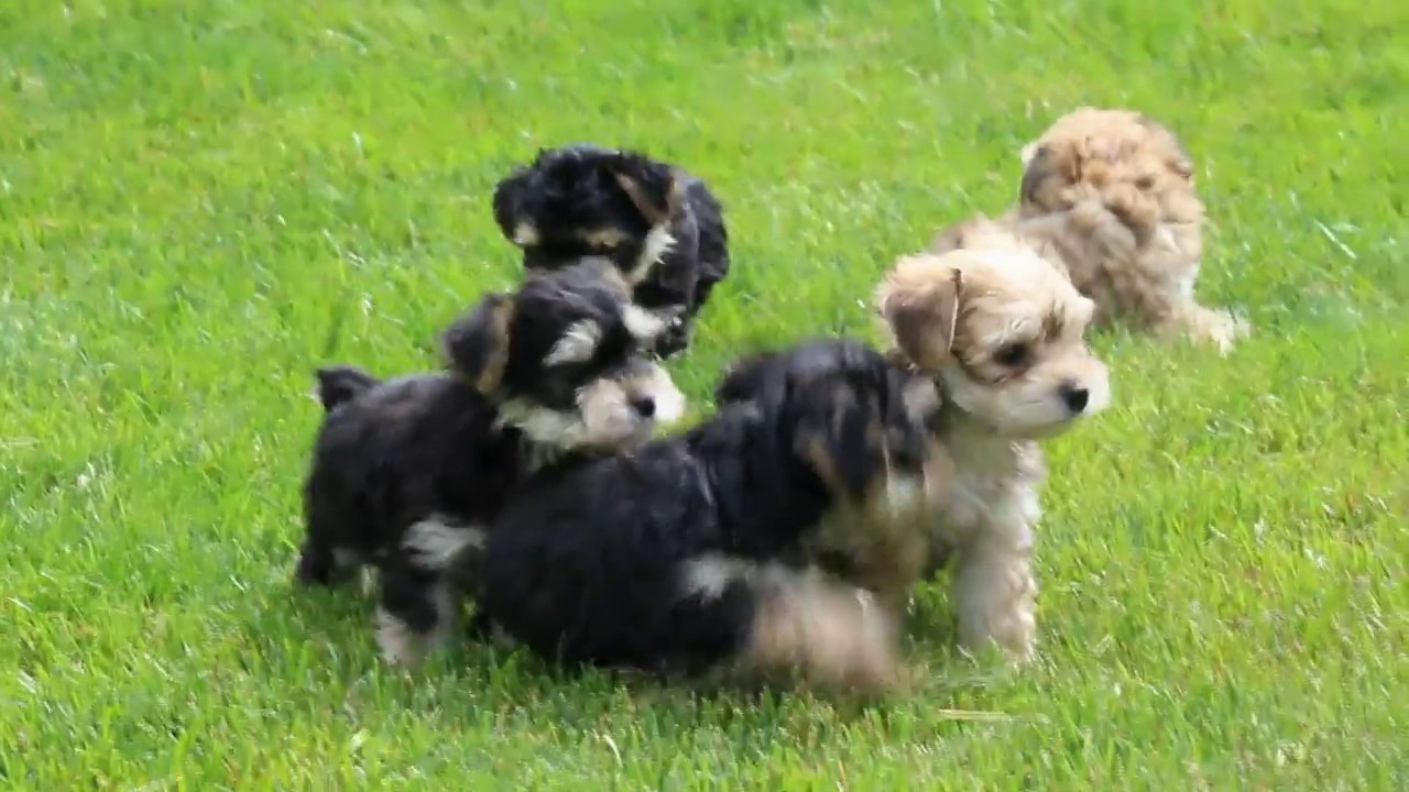 Yorkie Chon Puppies For Sale Youtube