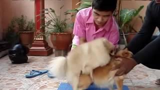 การจับสุนัขผสมพันธุ์ โดยที่แม่พันธุ์ ตัวสูงกว่า พ่อพันธุ์ By..KB-House