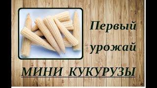 Первый УРОЖАЙ МИНИ КУКУРУЗЫ..