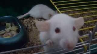 Декоративные домашние Крысы.  Весёлая компания