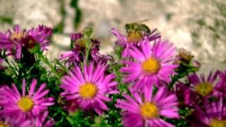 Осенние цветы - Альпийская астра