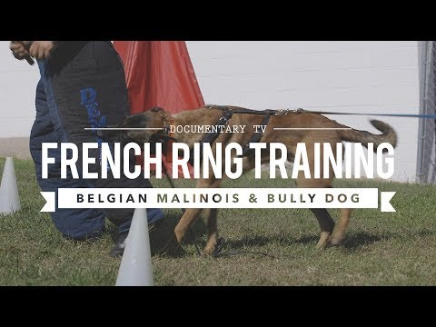 BELGIAN MALINOIS & AMERICAN BULLY DOG: FRENCH RING TRAINING