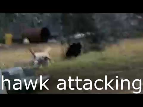Chickens Attacked by Hawk, and Rooster attacks it. |