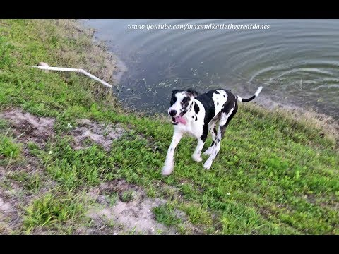 Happy Great Danes Love to Run and Splash in the Water