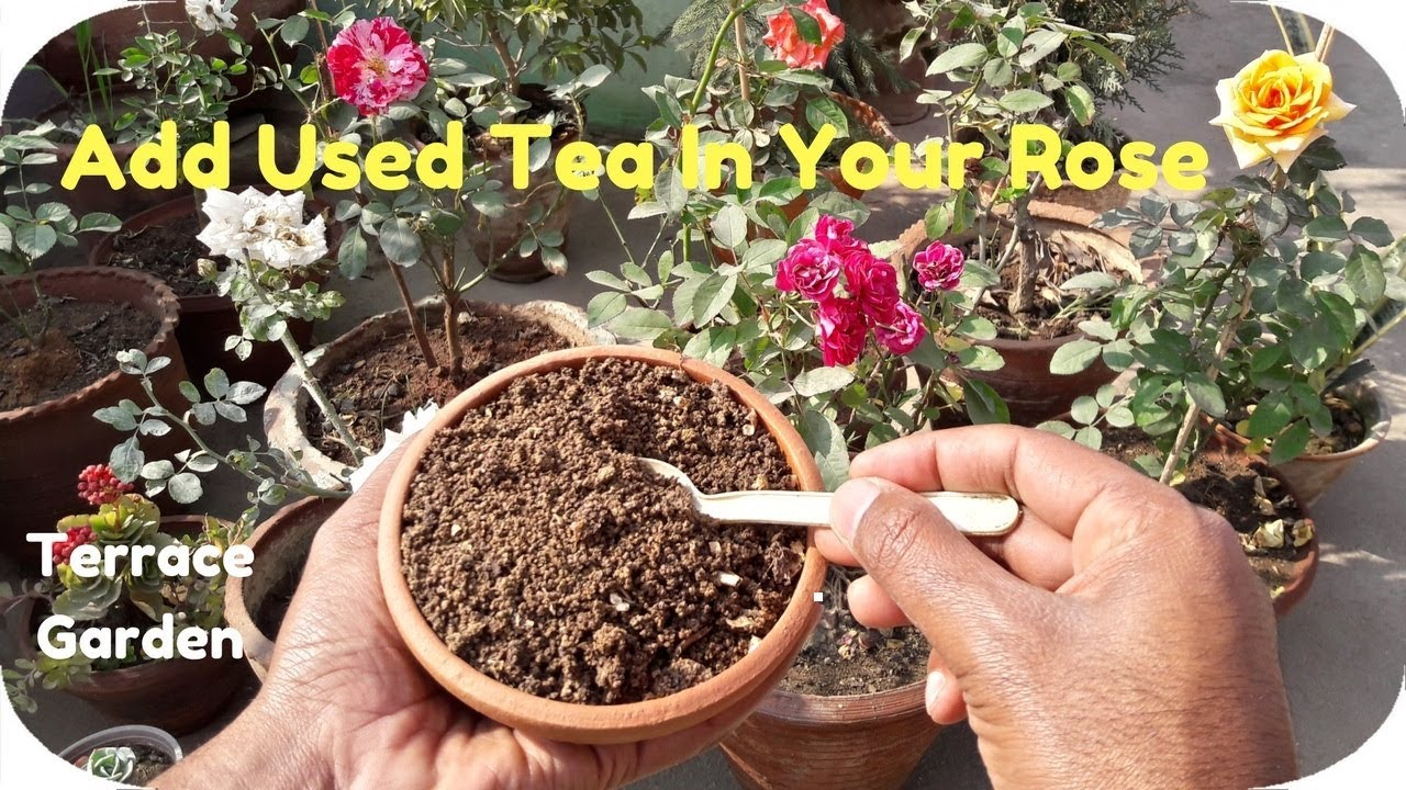 Bury Used Tea In Your Rose Garden ll What Happens Few Days Later ...