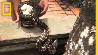 Snake Catcher Interrupts Python Mom With Her Eggs | National Geographic