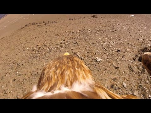 Getting A Bird's-eye View Of Hunting Eagles