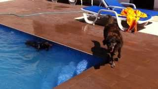 German Shorthaired Pointer Diving