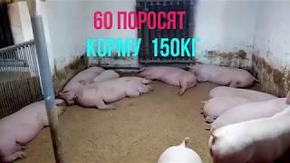 Свиньи кума.Спустя два месяца.Результат.Откорм свиней.Покупка свиней на Серво Люкс Генетик.Часть 3