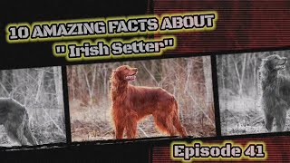10 fascinating facts about Irish Setter.
