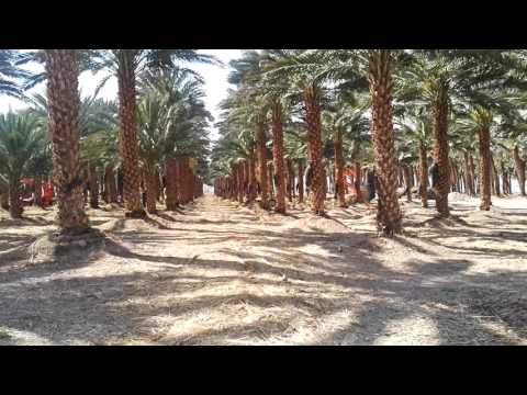 A plantation of palm trees near the border between Israel and Jordan