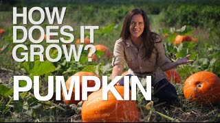 How Does it Grow? Pumpkins